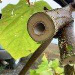 kanał żywieniowy Paulownia oxytree