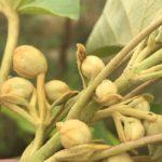 drzewo tlenowe, pąki kwiatów Paulowni