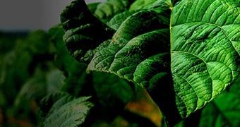 Eco inwestycje – Paulownia drzewo tlenowe