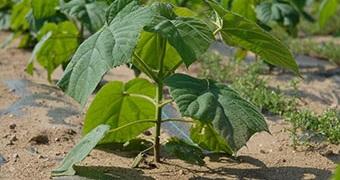Nasze drzewa tlenowe Paulownie