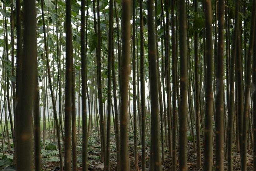 Drzewo tlenowe Paulownia plantacja drzew szybko rosnących