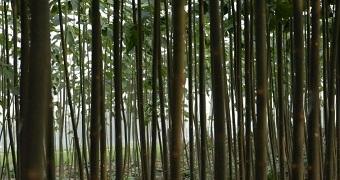 Drzewo tlenowe Paulownia, plantacja drzew szybko rosnących