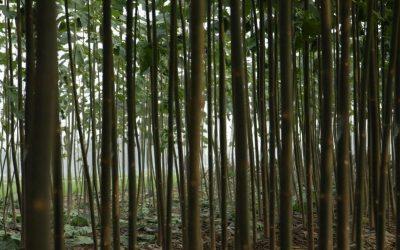 kilkuletnie drzewa tlenowe paulownia